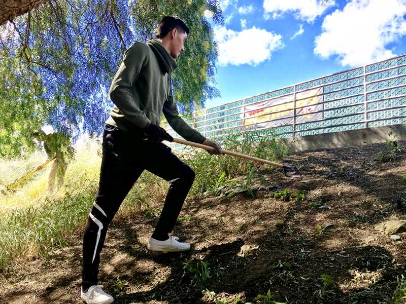 LMC student and AGS member, Cesar Ramirez; using a garden how to pull up weeds. Taken Friday April 22,2016 at the LMC Nature Preserve May be used for newspaper for May 6th edition.
