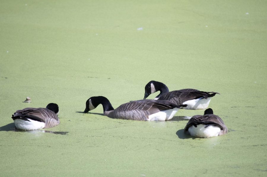 Canada geese wading in the Los Medanos lake.